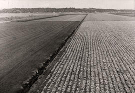 Holland Marsh Lettuce field